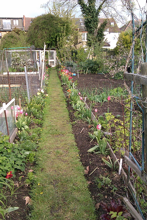 myWestEaling-Allotment-with-tulips-West-Ealing