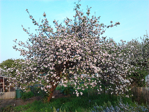 myWestEaling-tree-in-blossom-allotment-West-Ealing